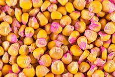 Close up color image of yellow and pink corn kernels