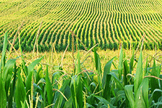 Color image of rows of tassled corn