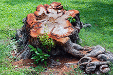 Large gnarled cut tree stump surrounded by green grass